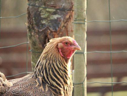 élevage poules