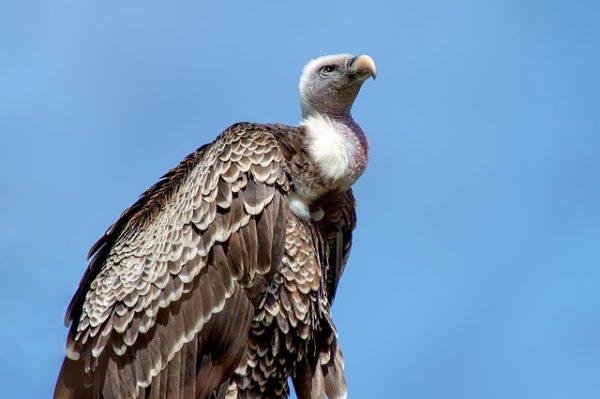 Les vautours : équarrisseurs naturels de l'environnement !